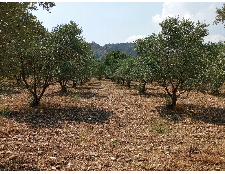Aydın Merkez Emirdoğan Köyünde Satılık 8280 M2 Bahçe