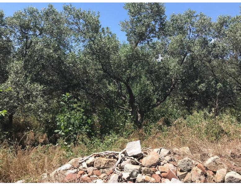 Erdek Belkıs Köyünde 690M2 Satılık Zeytinlik